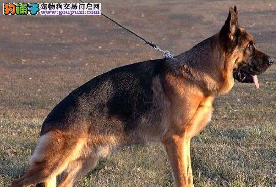 运城售德国牧羊犬纯种幼犬德牧幼犬黑背公母全有