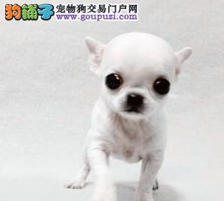 热销多只优秀的北京纯种吉娃娃幼犬保障品质一流专业售后