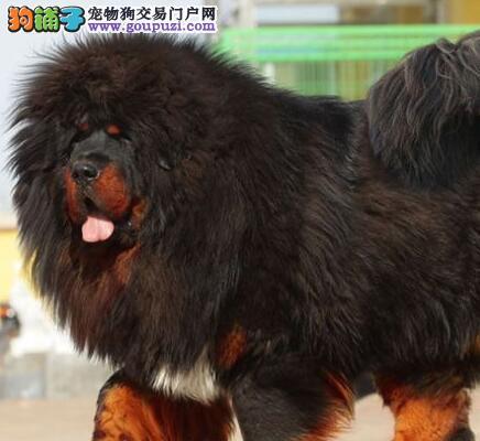 大型狗场热销纯种狮王血系藏獒 武汉周边地区可免邮费