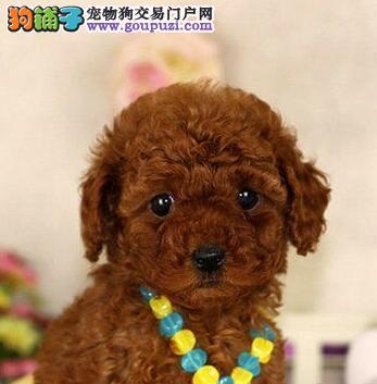 大型实体店直销品质好的汕头泰迪犬质保出售