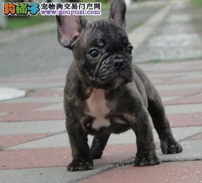 知名犬舍出售多只赛级法国斗牛犬国际血统认证