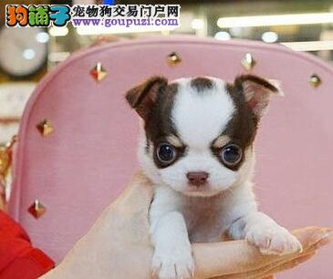 贵阳狗场繁殖纯种吉娃娃幼犬 希望大家上门选购看狗