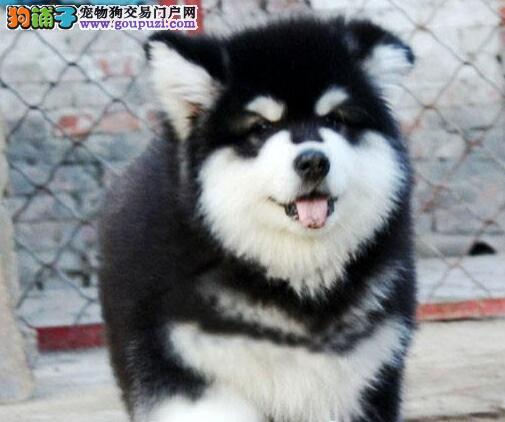 出售阿拉斯加犬颜色齐全公母都有外地可空运已驱虫