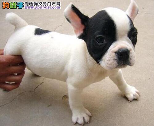 出售聪明伶俐武汉法国斗牛犬品相极佳可签订活体销售协议