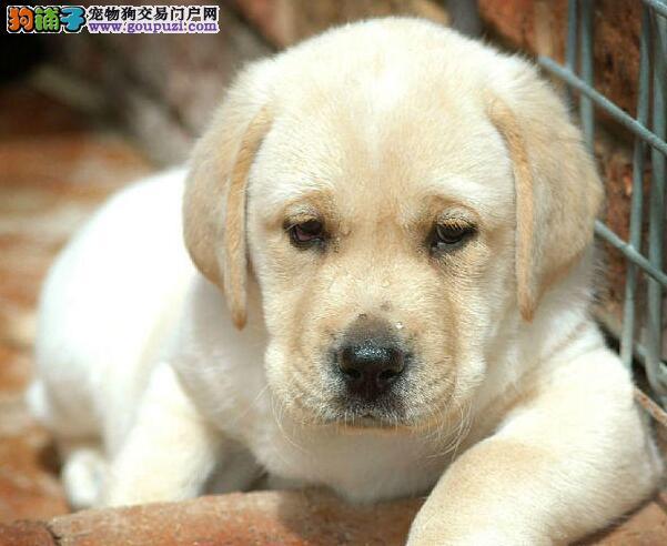 转让品质极佳的绍兴拉布拉多犬 喜欢的朋友不要错过