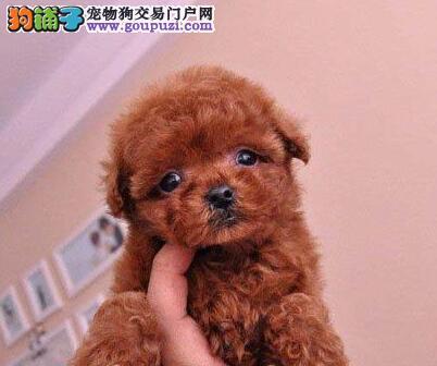优秀品质贵宾犬低价转让 深圳专业犬舍引进国外血统