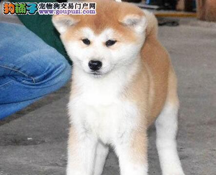CKU注册犬舍自家繁殖的秋田宝宝欢迎来电咨询