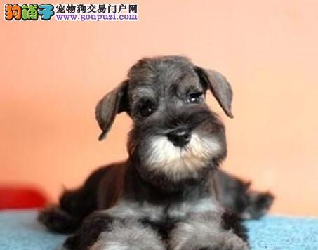 纯种雪纳瑞出售 品相完美 健康可爱 老头狗雪纳瑞