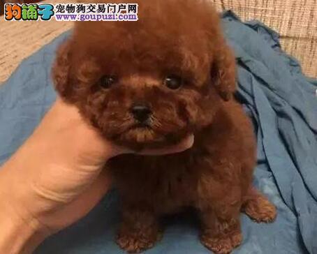 标准体 巨型 迷你 茶杯 玩具型 贵宾犬幼犬