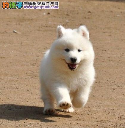 热卖萨摩耶多只挑选视频看狗终身售后保障