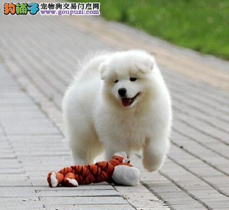 高端萨摩耶热销、专业繁殖包质量、微信咨询看狗