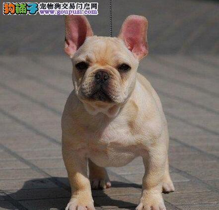 国际注册犬舍 出售极品赛级法国斗牛犬幼犬包养活包退换