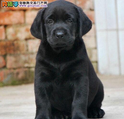 北京专业犬舍繁殖出售优秀拉布拉多犬身体健康有证书