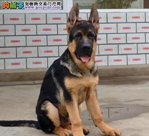 正规犬舍特价转让大头锤系德国牧羊犬 深圳周边可送狗