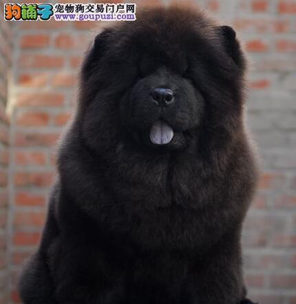 纯美系松狮幼犬低价出售!健康/质保!