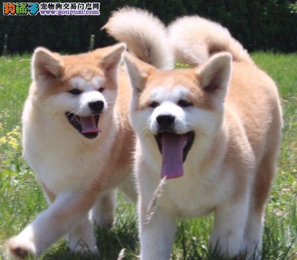秋田犬找新家、公母均有多只选择、质保健康90天