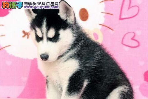 出售赛级品质的南通哈士奇 可随时上门选购幼犬