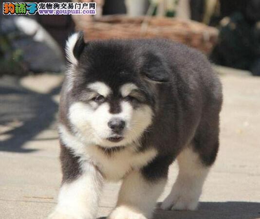 国际注册犬舍 出售极品赛级阿拉斯加犬幼犬可签合同刷卡