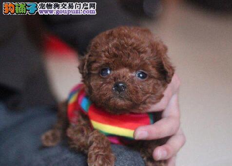 赛级品相黄冈贵宾犬幼犬低价出售期待来电咨询