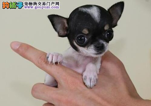 体型超小非常可爱的苹果脑袋大连吉娃娃幼犬低价出售