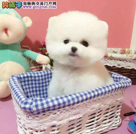 球形雪白的鞍山博美犬超低价转让 被毛蓬松外表华丽