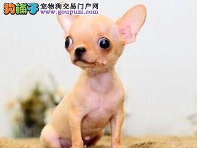 广州正规养殖场出售吉娃娃金鱼眼超小型品质保证