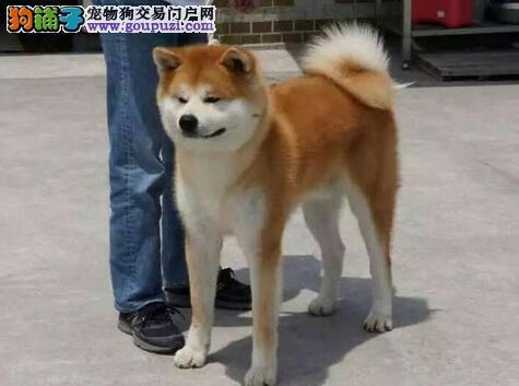 热销纯种日系秋田犬 哈尔滨周边地区建议来上门购买