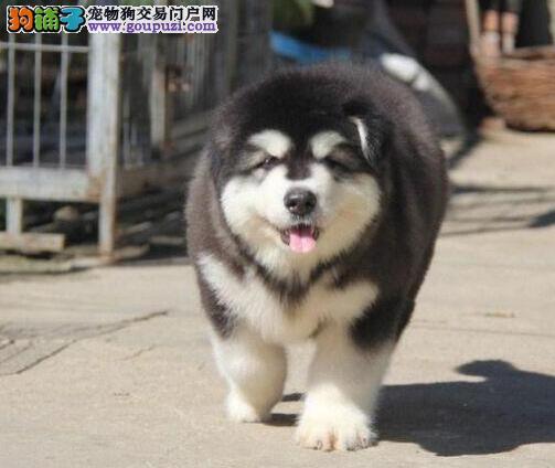 纯种赛级阿拉斯加犬 品质极佳品相超好 签订终身合同