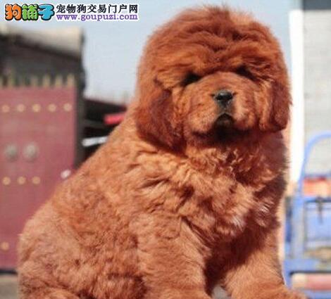 顶级优秀品质天津藏獒热销中 狮王血系驱虫疫苗已做好