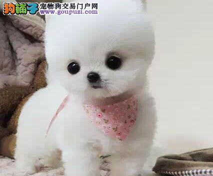 促销出售深圳博美犬 100%保证纯种和健康有血统证书