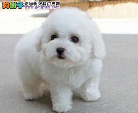 促销价出售卷毛广州比熊犬 已做好进口疫苗和驱虫