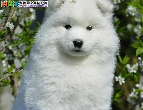 微笑天使雪白色的萨摩耶热卖中 渝中的朋友上门看种犬