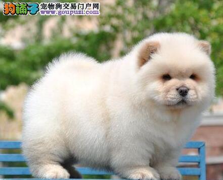 CKU认证犬舍出售高品质松狮可签订活体销售协议