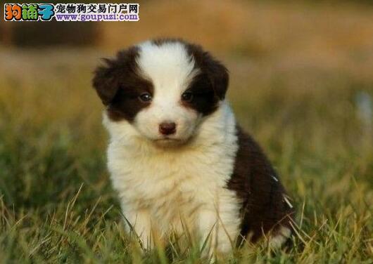 超精品的武汉边境牧羊犬疯狂热卖中 签订活体协议