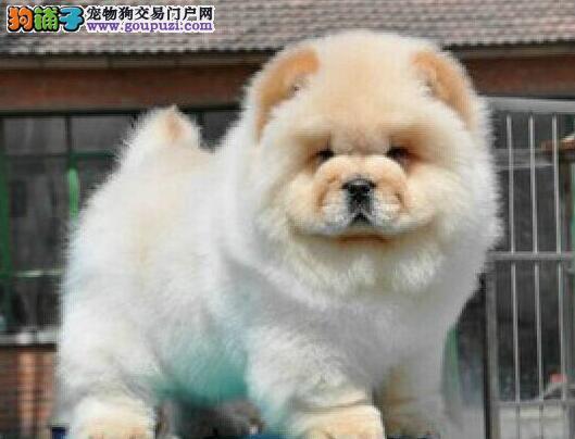 南京哪边有卖松狮犬南京大头松狮价钱南京松狮犬价格