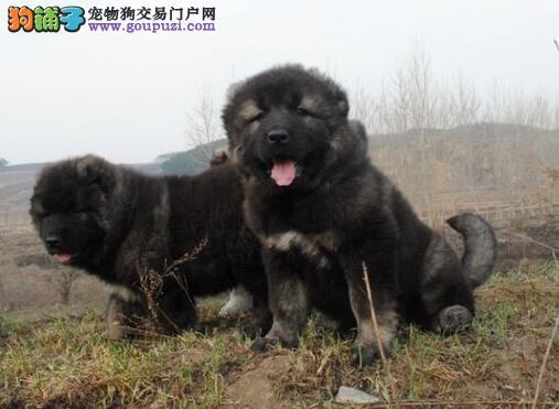 上海哪里有卖纯种的高加索犬高加索价格多少
