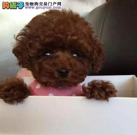 纯种贵宾犬宝宝找主人可直接视频挑选