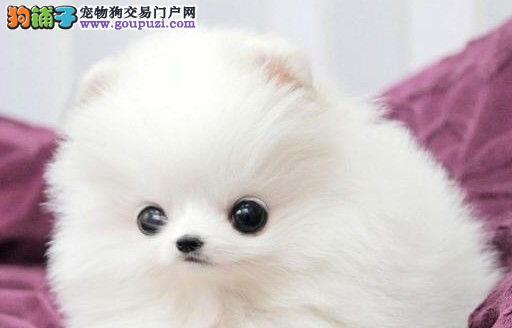 南昌正规养殖基地出售博美犬 多种颜色幼犬供选择