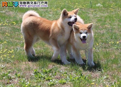 杭州出售健康品相极佳的秋田犬 公母多只可选 欲购从速