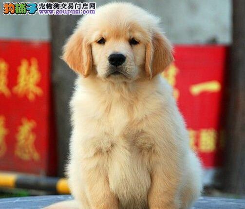 狗场促销顶级品质金毛犬赣州地区可上门选购