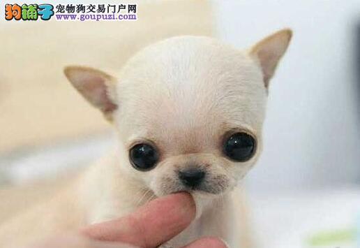 家养可爱的纯种吉娃娃 正在武汉出售 百分百纯正品质