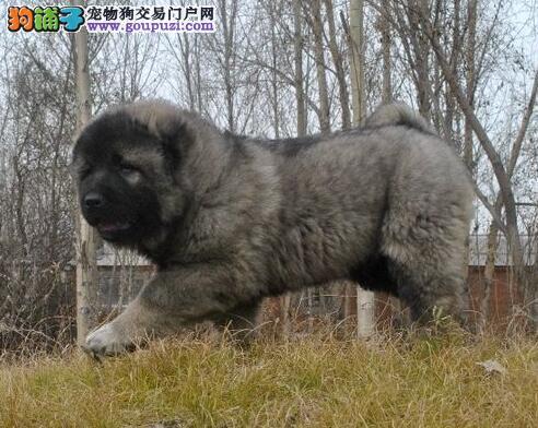 南昌大型培育中心出售熊版高加索犬 可提前预定