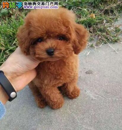 出售纯种贵宾幼犬纯种玩具贵宾 专业繁殖