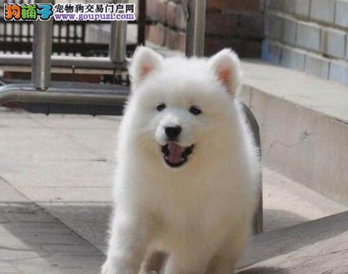 转让三亚自家繁殖的微笑天使般萨摩耶 多只幼犬任选购