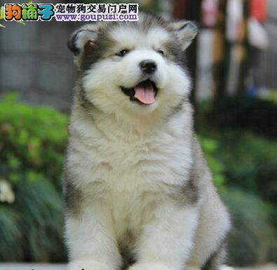十字脸完美品相的阿拉斯加犬找新家 南昌市内送货