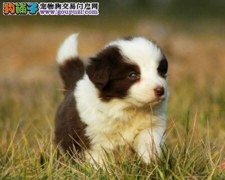 极品边牧犬郑州出售边境牧羊犬幼犬疫苗驱虫已做
