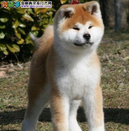 热销多只优秀的纯种秋田犬幼犬期待您的咨询