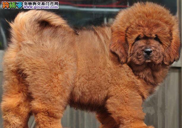 武汉本地犬业出售铁包金藏獒