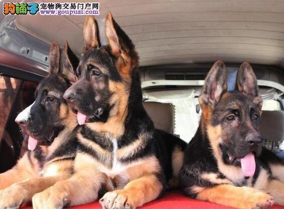 德国牧羊犬武汉最大的正规犬舍完美售后签正规合同请放心购买