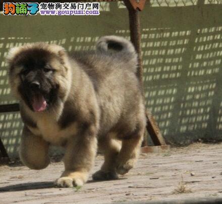 CKU犬舍认证出售高品质北京高加索包售后包退换